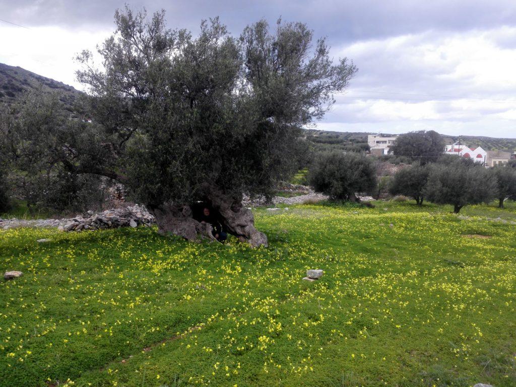 Olivovník na jar na ostrove - Kréta na motorkách